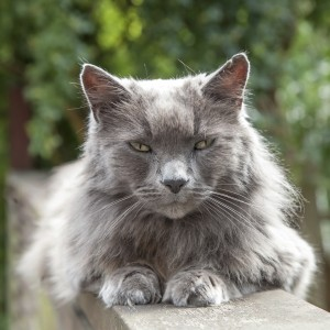Old Long-Haired Grey Cat with Yellow Eyes on Railing