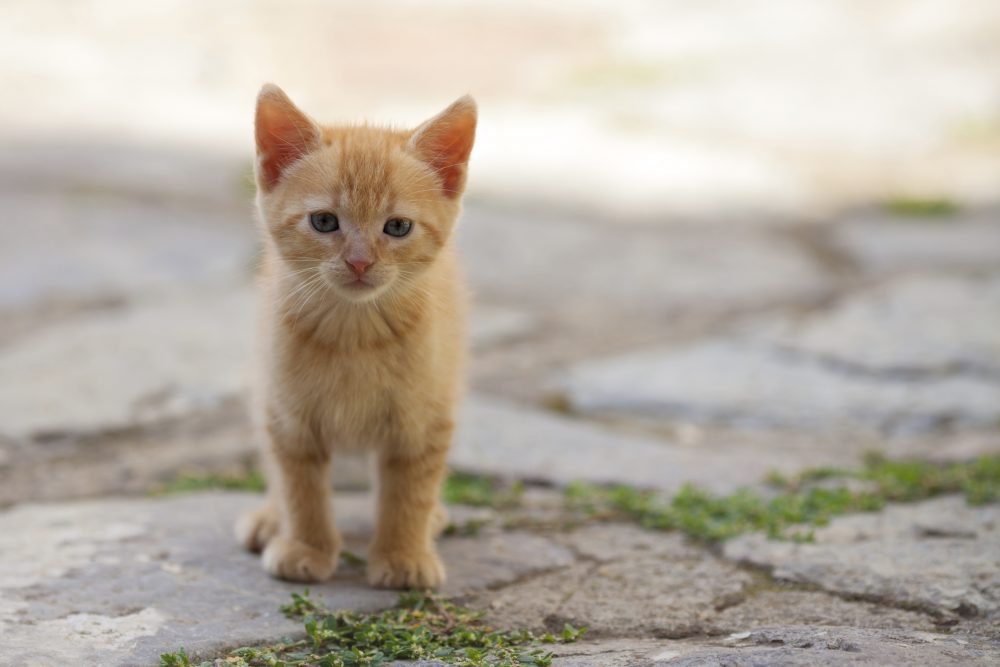 Little red cat