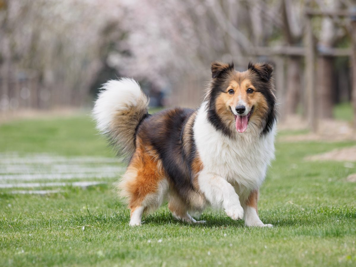 Purebred Shetland Sheepdog outdoors on grass meadow