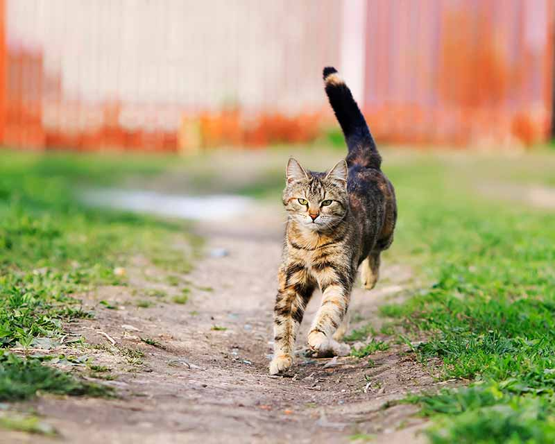 Tabby cat running outside