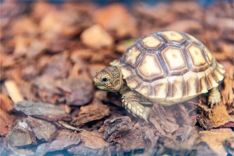 A small tortoise walks in the bark of his habitat