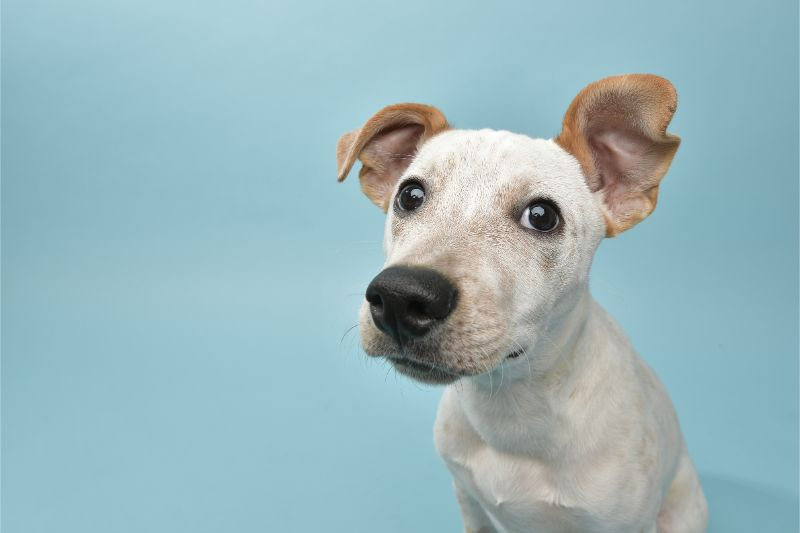 A white dog looking curiously at the camera, sitting in front of a light blue background.