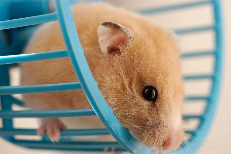 Brown hamster in a hamster wheel.