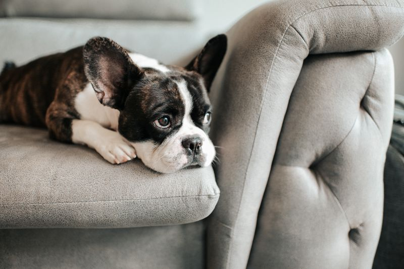 Melancholy dog rests on grey sofa