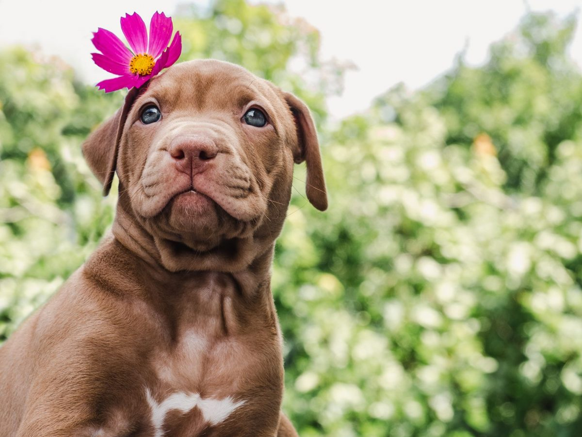 Labrador puppy with purple flower on it's head.