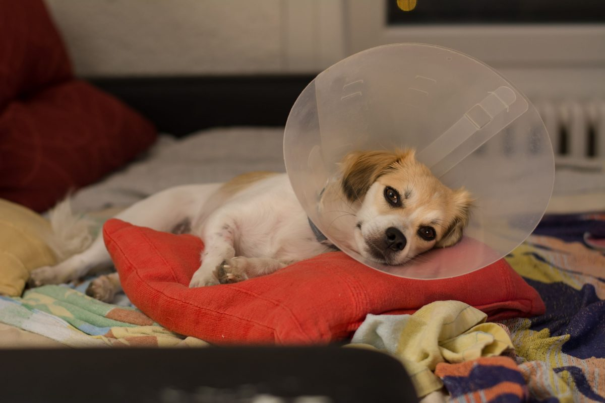 A dog lies down to recover after surgery.