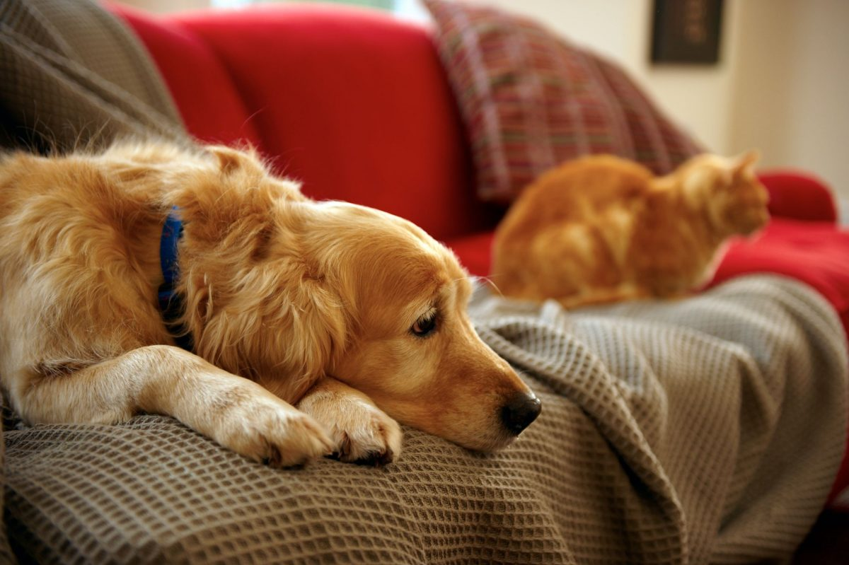 Sad dog and cat laying on couch thinking about ringworm.