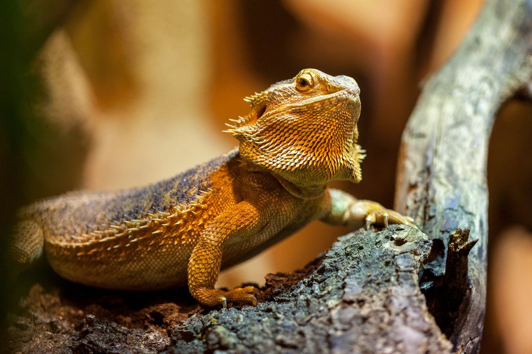 Bearded dragon in Naperville, IL.